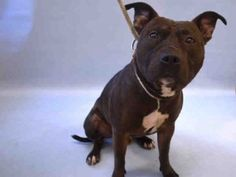 ♡ MY LIFE MATTERS ♡ GOOSE aka KAPPA – A1059765 ***DOH HOLD 12/06/15*** MALE, CHOCOLATE, AM PIT BULL TER MIX, 3 yrs STRAY – STRAY WAIT, HOLD FOR DOH-VB Reason ATT ANIMAL Intake condition EXAM REQ Intake Date 12/06/2015, From NY 10453, DueOut Date 12/16/2015,