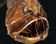Found only deep within the bowels of the world's oceans, the fangtooth fish is surprisingly harmless.
