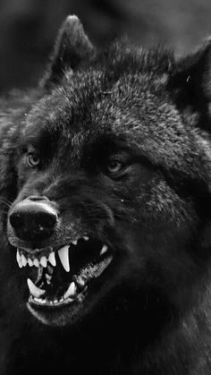Wolf Images, Wolf Photos, Wolf Pictures, Wolf Love, Wolf Spirit, Spirit Animal, Beautiful Wolves, Animals Beautiful, Angry Wolf