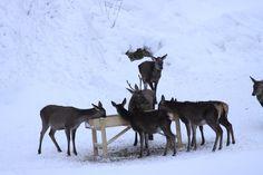 Mahlzeit für Reh und Hirsch! Bavaria, Art History, Austria, Switzerland, Westerns, Germany, Country, Winter, Beautiful