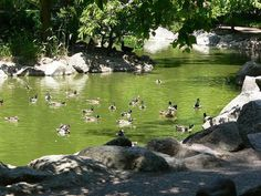 Duck Pond at Lithia Park, Ashland Oregon. I used to feed the ducks when I was a kid at this pound.