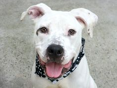 JUNIOR - A1117930 - - Manhattan  TO BE DESTROYED  07/17/17 **ON PUBLIC LIST**  A volunteer writes: Digging into my memory, I just realized that last night was not my first time meeting with Junior. A few days ago, I watched him playing with another volunteer. Such a handsome and attractive dog, leaping through the yard after a ball that he caught each time expertly, and released willingly to his caretaker. I was with another dog in an adjacent pen and both pooches were cool