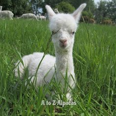 This blue eyed boy needs a name!  Starting with the letter T. Any ideas? #alpaca