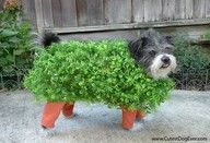 That's it!  Scooter is going as a Chia Pet next Halloween!