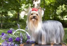 Yorkies are easily adaptable to all surroundings, travel well and make suitable pets for many homes. Due to their small size, they require limited exercise, but need daily interaction with their people. Their long coat requires regular brushing.