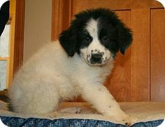 4/8/14: Princeton, MN - Great Pyrenees/Border Collie Mix. Meet Bosco a Puppy for Adoption.