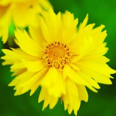 Top plants for summer color . . . Add heat-tolerant flowers and features to your yard and enjoy their beauty all summer (shown: Coreopsis grandiflora 'Sunray') . . . check out this site (Sunset.com) for ideas on how to add color during summer AND cool weather.