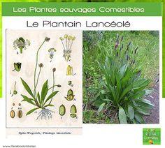 Lamier pourpre comestible en cuisine cuisine sauvage - Cuisine plantes sauvages ...