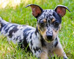 cute liver spotted rat terrier puppy