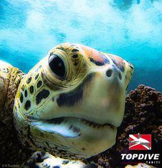 Tortue à Tahiti / Turtle in Tahiti