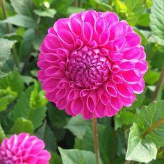 Perfection.  #california #cagrown #flowerfriday #floweroftheday #flowers #dahlia