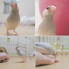 昨日の楽しそうな文鳥。 #文鳥 #シルバー文鳥