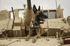 Modern day military working dog: Belgian Malinois atop a Bradley fighting vehicle. War dogs were used throughout World War II by both sides. Malinois Belga, Pastor Belga Malinois, Military Working Dogs, Military Dogs, Police Dogs, Military Units, Military Service, Military Guard, Military Personnel