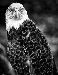 11x 14 Bald Eagle  Black and White by BryanPantingPhoto on Etsy, $40.00