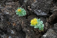 Golden root (Rhodiola rosea) (The Siberian Times)