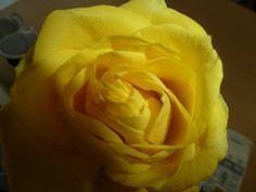 Jeg  elsker roser!