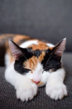 Weve had her for 4 days and I still cant stop staring at her while she sleeps cats funny pictures Cute Cats And Kittens, I Love Cats, Crazy Cats, Kittens Cutest, Pretty Cats, Beautiful Cats, Animals Beautiful, Gato Calico, Calico Cats