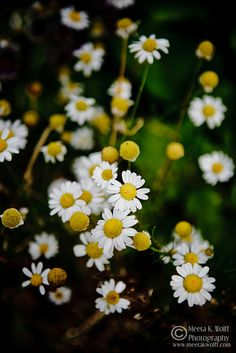 Wistfully Country, Summer Daisy by Meeta K. Wolff by WFLH on Flickr.