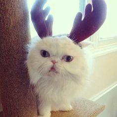Donny Reindeer #Christmas Cat