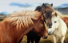 Speak together by Anna Guðmundsdóttir on 500px. Icelandic horses