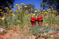 Desert blooms in once-a-decade wildflower season - Sturt's Desert Pea and Native daisies.