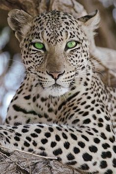 What beautiful green eyes this leopard has.