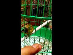 Pecinta Burung: Kiat melatih burung cepat Jinak