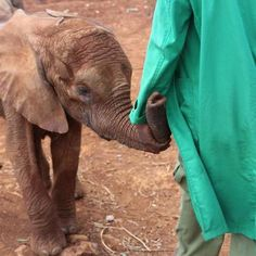 Despite still being understandably a little traumatised, here Lima Lima is gently reassured by the Keepers. #elephants