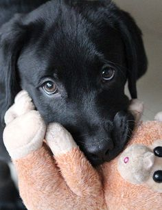 Dog Temperament – Choosing A Friendly Puppy Labrador puppies enjoy carrying their toys around. It's part of their special dog temperament. Find out more on thehappypuppysite… Black Lab Puppies, Cute Puppies, Dogs And Puppies, Doggies, Black Puppy, Cute Labrador Puppies, Black Labs Dogs, Cavapoo Puppies, Goldendoodles