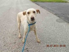 LUCY (A1639603) I am a female cream Terrier mix. The shelter staff think I am about 1 year old. I was found as a stray and I may be available for adoption on 09/04/2014. — hier: Miami Dade County Animal Services. https://www.facebook.com/urgentdogsofmiami/photos/pb.191859757515102.-2207520000.1409264863./831241796910225/?type=3&theater