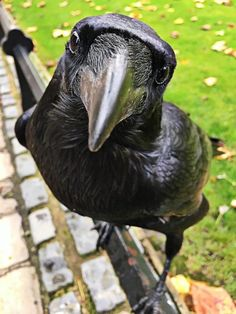 Ravenmaster on – Animal Planet Animals And Pets, Funny Animals, Cute Animals, Beautiful Birds, Animals Beautiful, Raven Bird, Crows Ravens, Young Animal, Tier Fotos