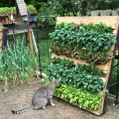 Enjoying the harvest... #vegetariancat #saladpallet #palletproject #cats #winstonchurchill
