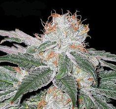 White Widow sativa bud plant - Repinned by Sativa Magazine