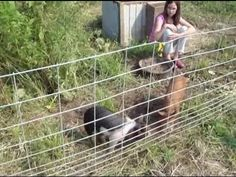raising pigs w/o smell, special notice to the way they do their fencing - i especially like that they used carbiners to attach the fence panel together - easy to move and reuse.
