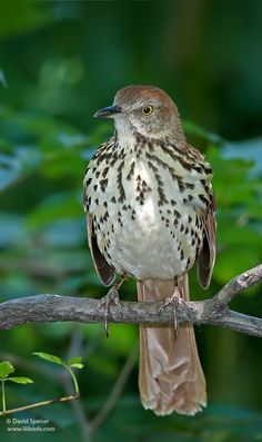 The brown thrasher, Virginia state bird,  gets its name from its brown color and its habit of thrashing in leaf litter with its long, curved bill as it searches for insects. The bird has a long, graceful tail, and is bright reddish brown above, with white or pale buff, heavily streaked underparts and 2 white wing bars. Adult birds have yellow eyes. A member of the mockingbird family, the spring song is a loud, melodious carol, often with phrases repeated in pairs.