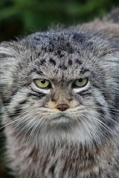Pallas Cat (by CMGW Photography)