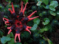 Aseroe rubra or Starfish fungi (Stinkhorns)