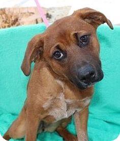 Yardley, PA - Shepherd (Unknown Type)/Australian Cattle Dog Mix. Meet Vanessa, a puppy for adoption. http://www.adoptapet.com/pet/17405144-yardley-pennsylvania-shepherd-unknown-type-mix