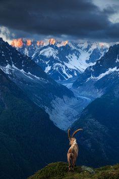 Ibex above Chamonix valley, French Alps
