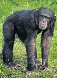 Chimpanzee (Pan troglodytes).  An intelligent species by all accounts, it has the ability of solving complex problems, using tools, and developing strategies.