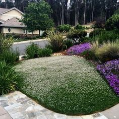 Eco-friendly lawn alternative in a residential front yard. Saves time maintaining and water while seasonal flowers attract pollinators. Drought Tolerant Grass, California Backyard, California Drought, Grass Alternative, Front Yard Landscaping, Landscaping Ideas, Backyard Ideas, Ground Cover Plants, Mediterranean Garden