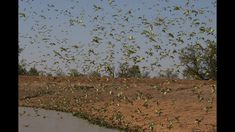 Budgerigars search for food and water in the outback of Australia. They fly in small flocks which gradually join other flocks of budgies, allowing their numb. Decorah Eagles, Monk Parakeet, Tv Seasons, Budgies, Flocking, Birds, Australia, Nature, Plants