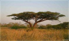 Pony Tail Palm, Socotra, Out Of Africa, Painting Inspiration, Wilderness, South Africa, Places To Go, Country Roads, Kunst