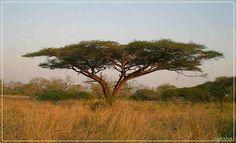 umbrella thorn tree  Mkuze Game Resort