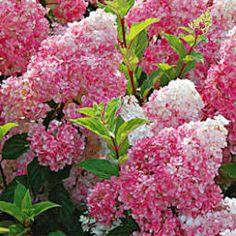 Strawberry Vanilla® Hydrangea - 3 Gallon - Beautiful Strawberry Blooms