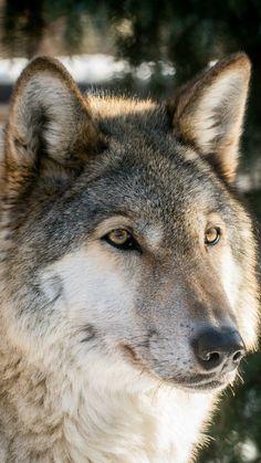 Wolf, the predator, muzzle, wild, 720x1280 wallpaper