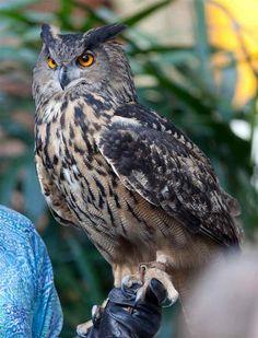 EAGLE OWL | Eurasian Eagle Owl Face Closeup