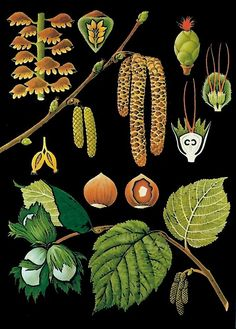 Hagemann Scientific Educational Botanical Chart Vintage-inspired Wall Hazel