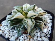 Haworthia lavieenrose variegata kegani × pygmae