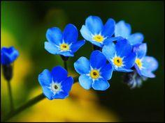 Święto Polskiej #Niezapominajki 15 Maja Dzień przyrody piękna przyjaźni 15th May Holiday of the Polish #forget-me-not #nots #myosotis flower Day of nature beauty and friendship niezapominajki.pl